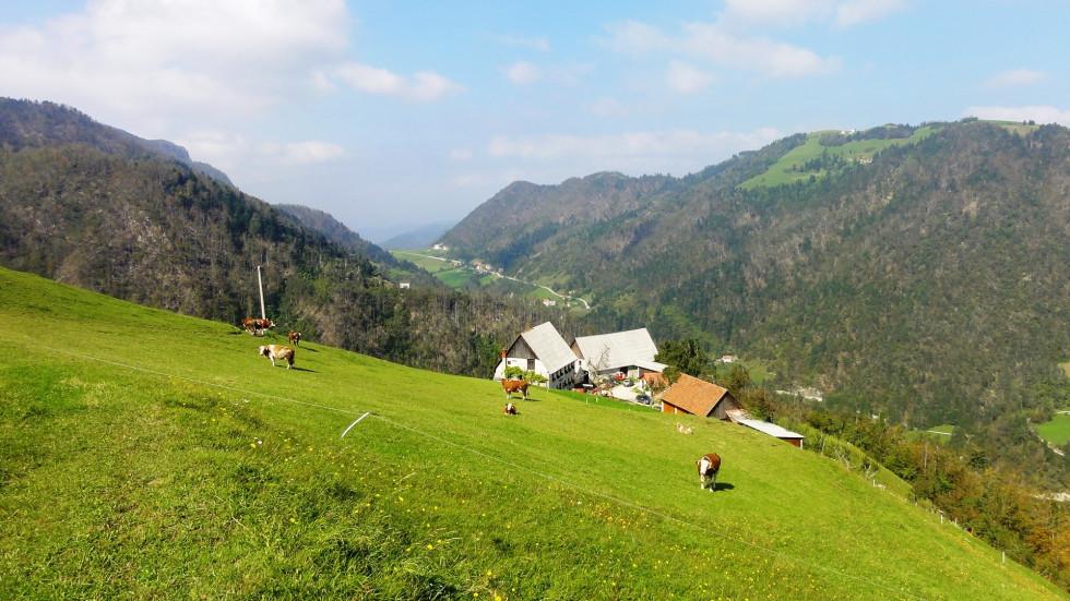 krave na pašniku na planini